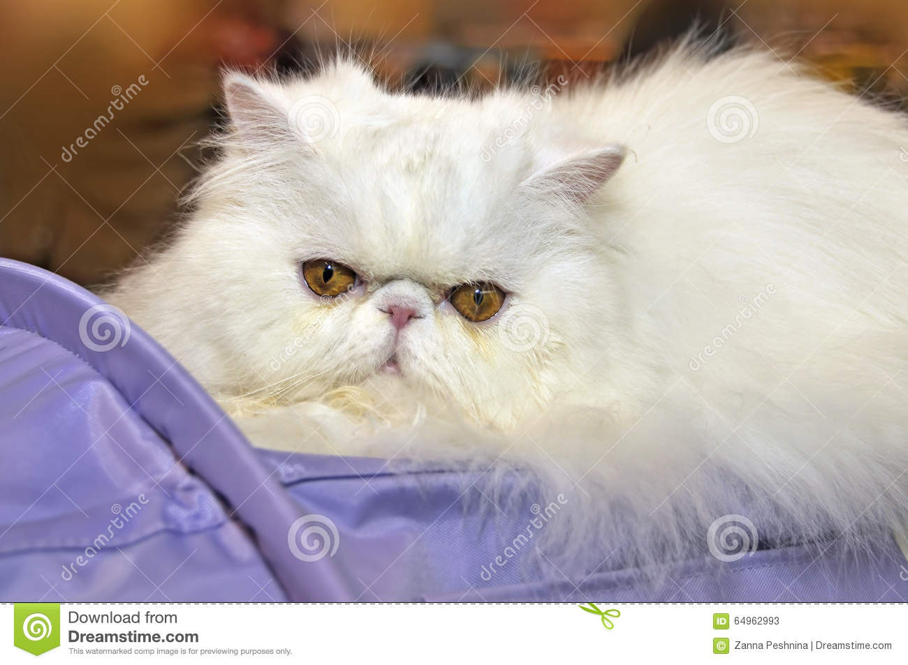 White Persian Cat Stock Image Image Of Angry Expert 64962993
