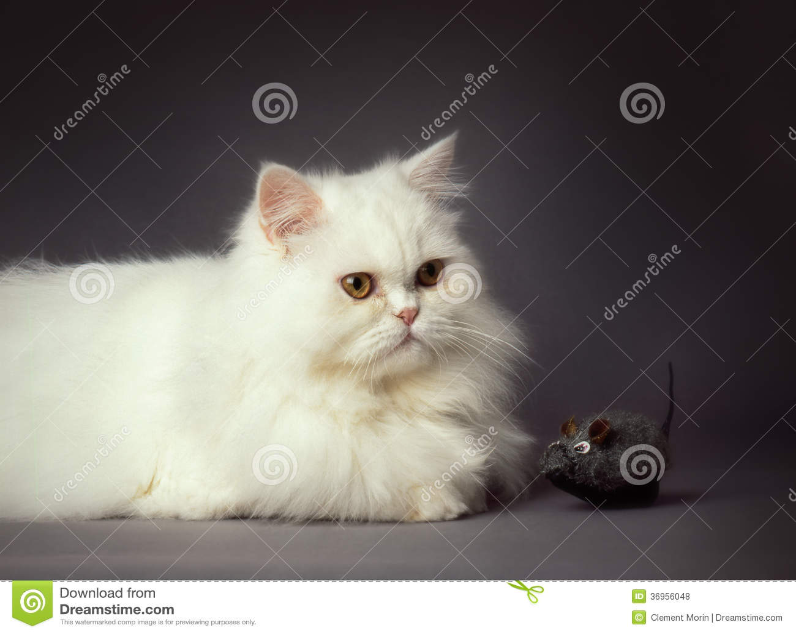 Purebreed Cat Pictures