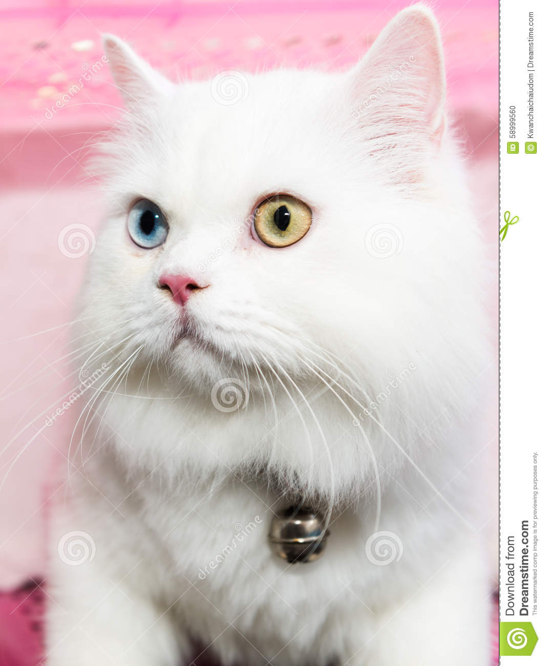 White Persian Cat Two Color Eyes Stock Image