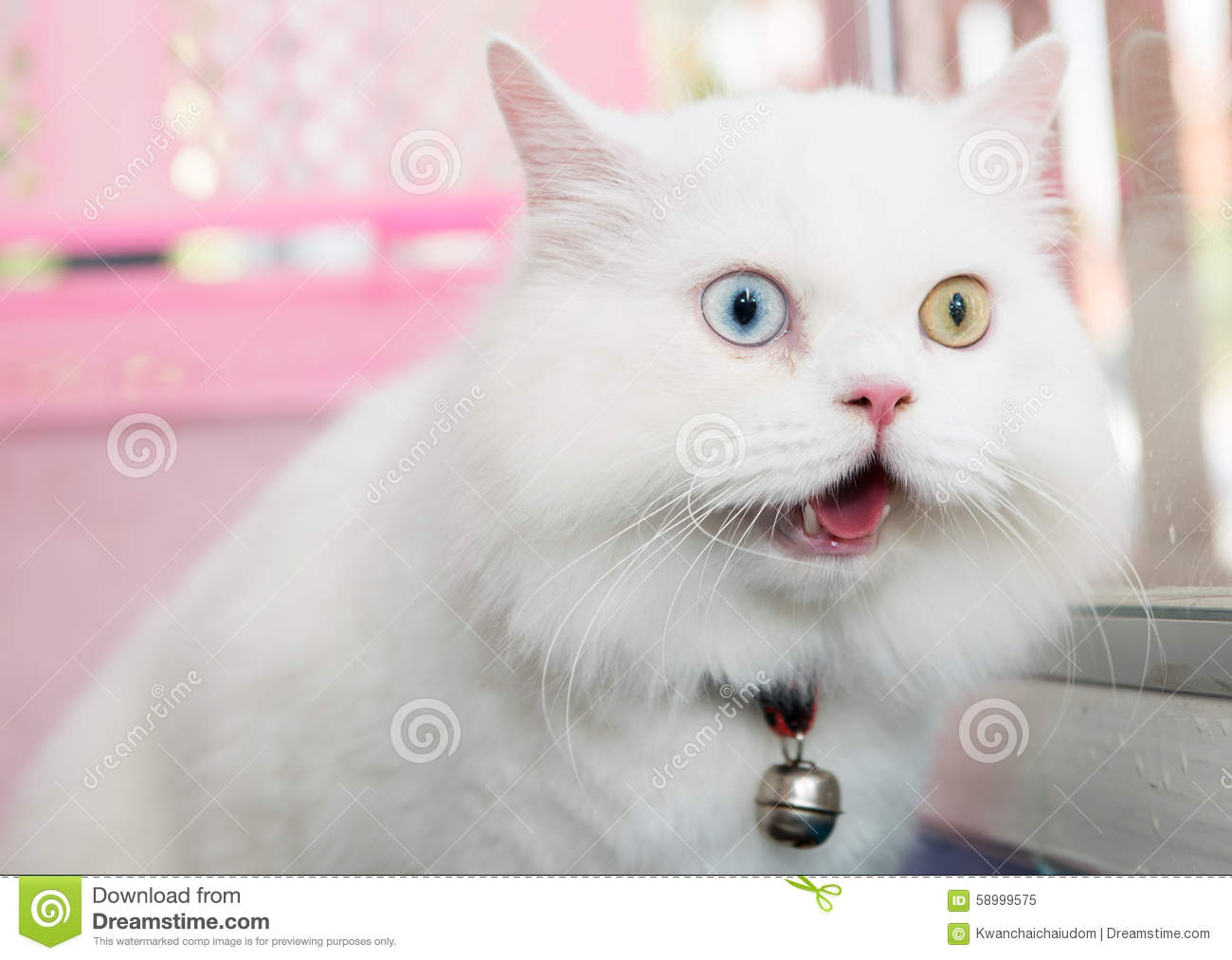 White Persian Cat Two Color Eyes Stock Image Image