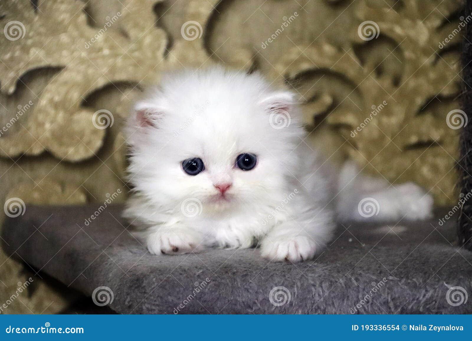 kitty cat)