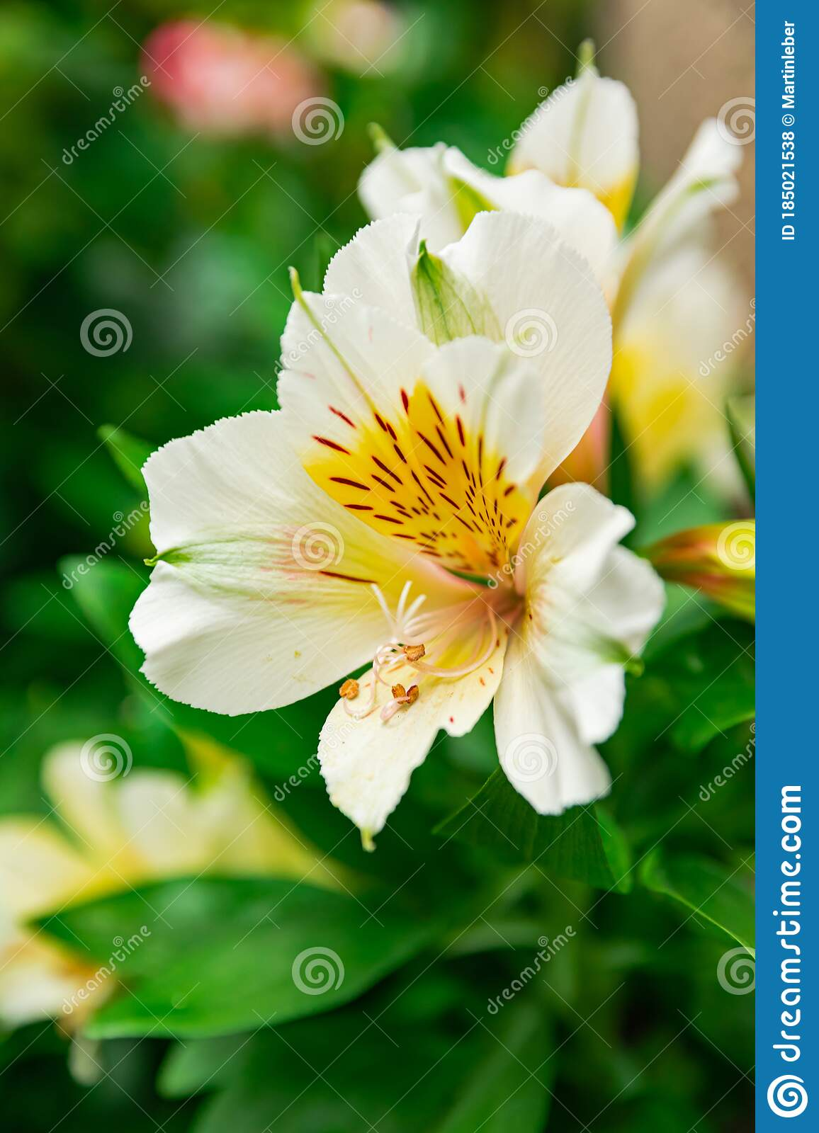 White Peruvian Lily Alstroemeria Blooming Stock Photo Image Of Alstroemeria Freshness 185021538