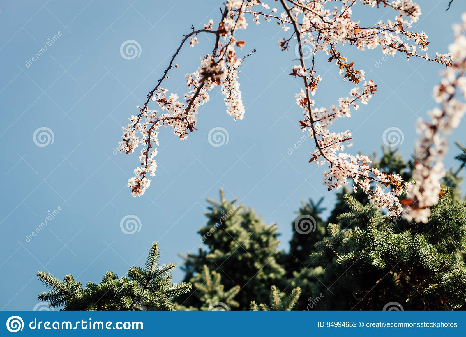 Download White Petaled Flower Under Clear Blue Sky During Daytime Stock Photo - Image of outdoors, nature: 84994652