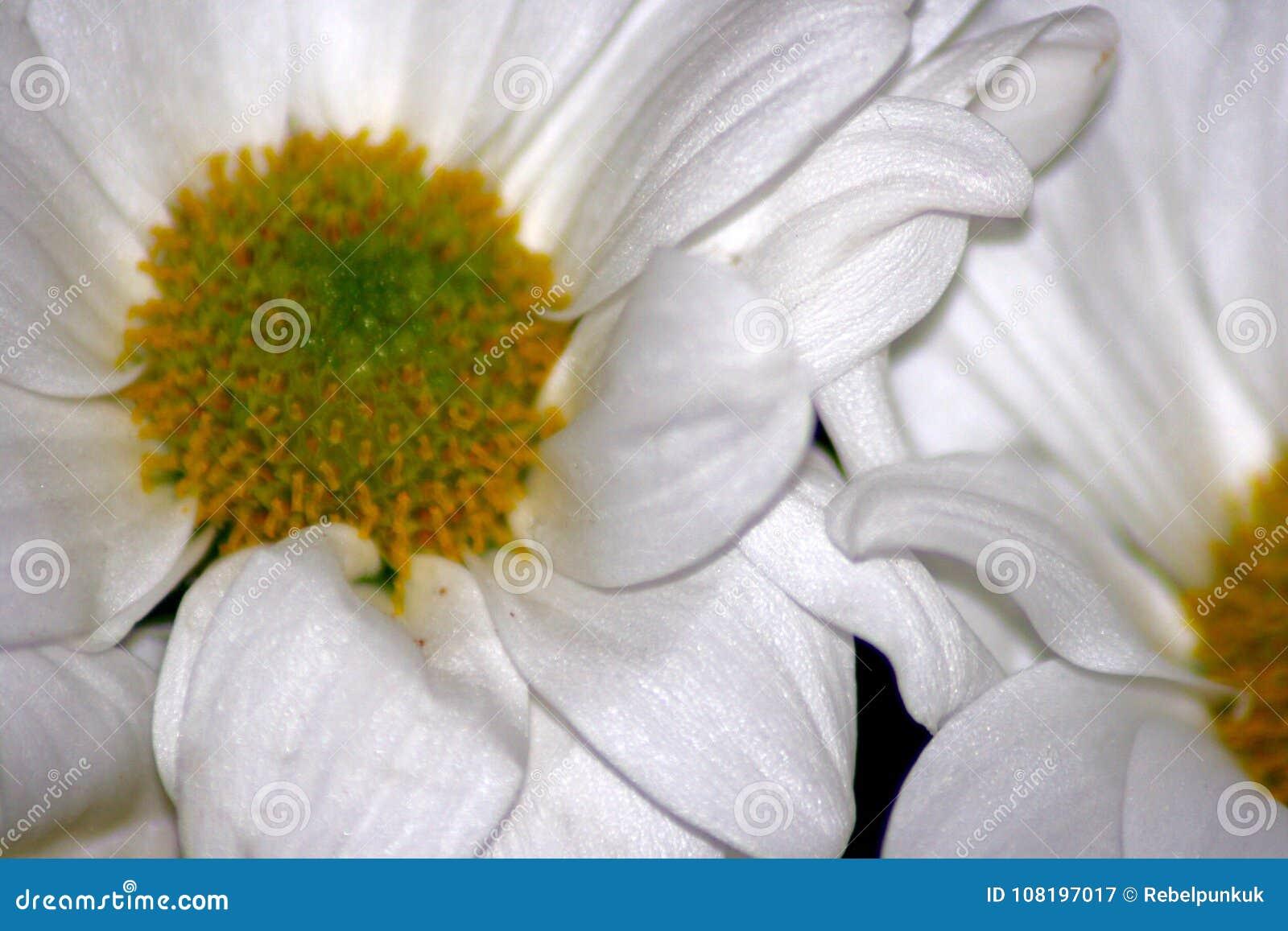White Petalled Flower Stock Image Image Of White Daisy 108197017
