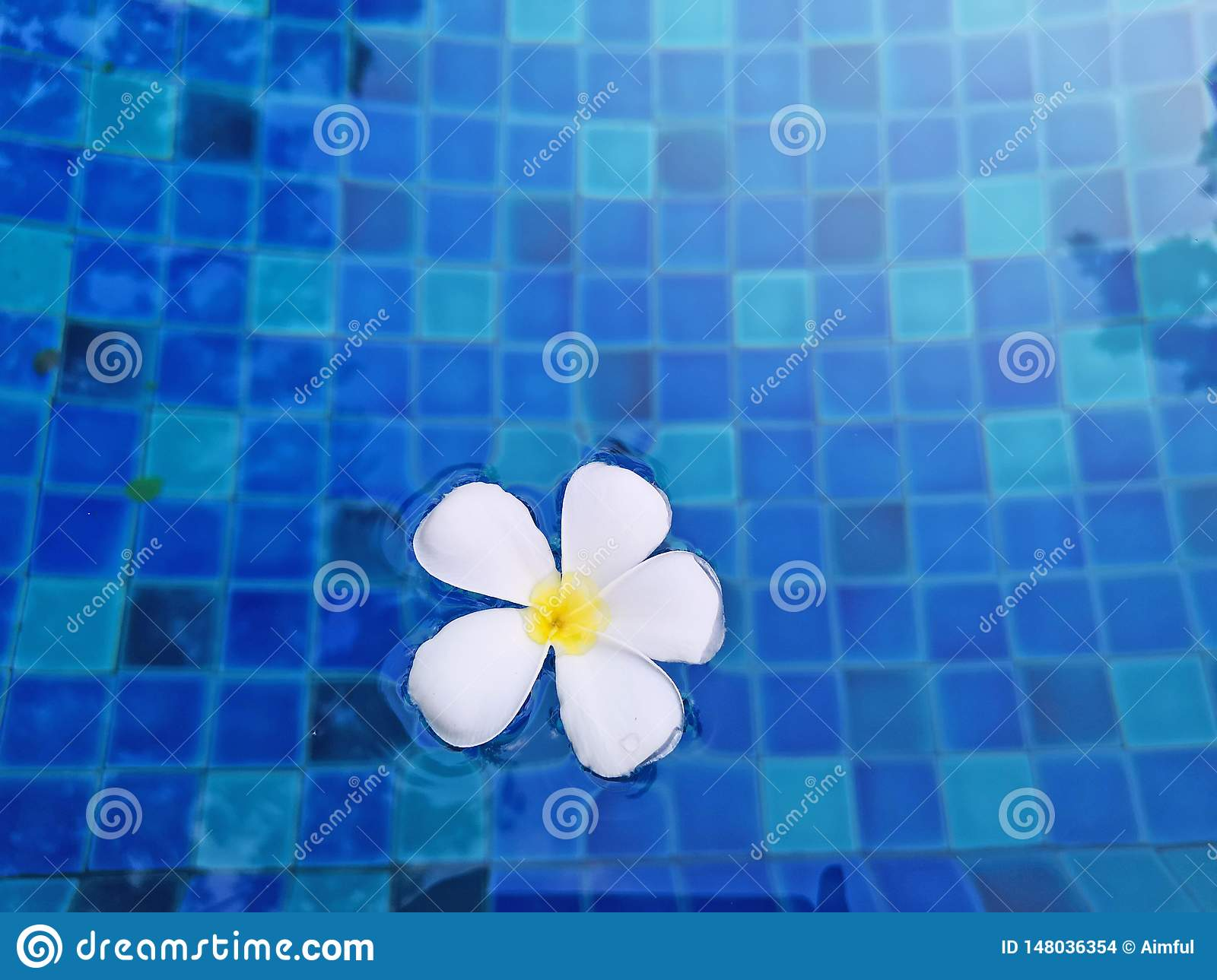 White petals of fragrant temple tree flower plant on waving vivid turquoise blue water in the swimming pool