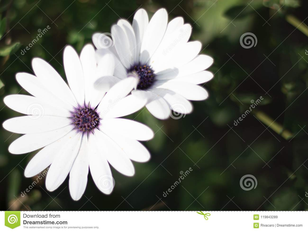 White Petals And Purple Center Flower Stock Image Image Of Nature