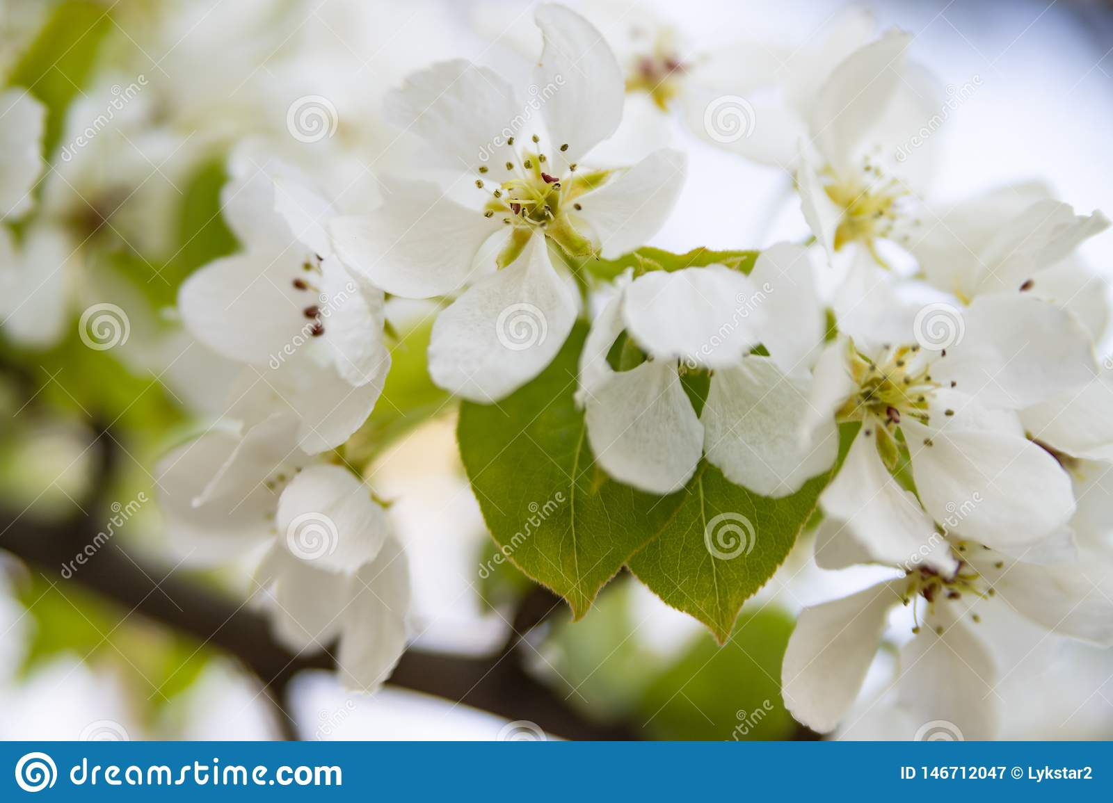 White flowers of apple tree close-up on a blurred background