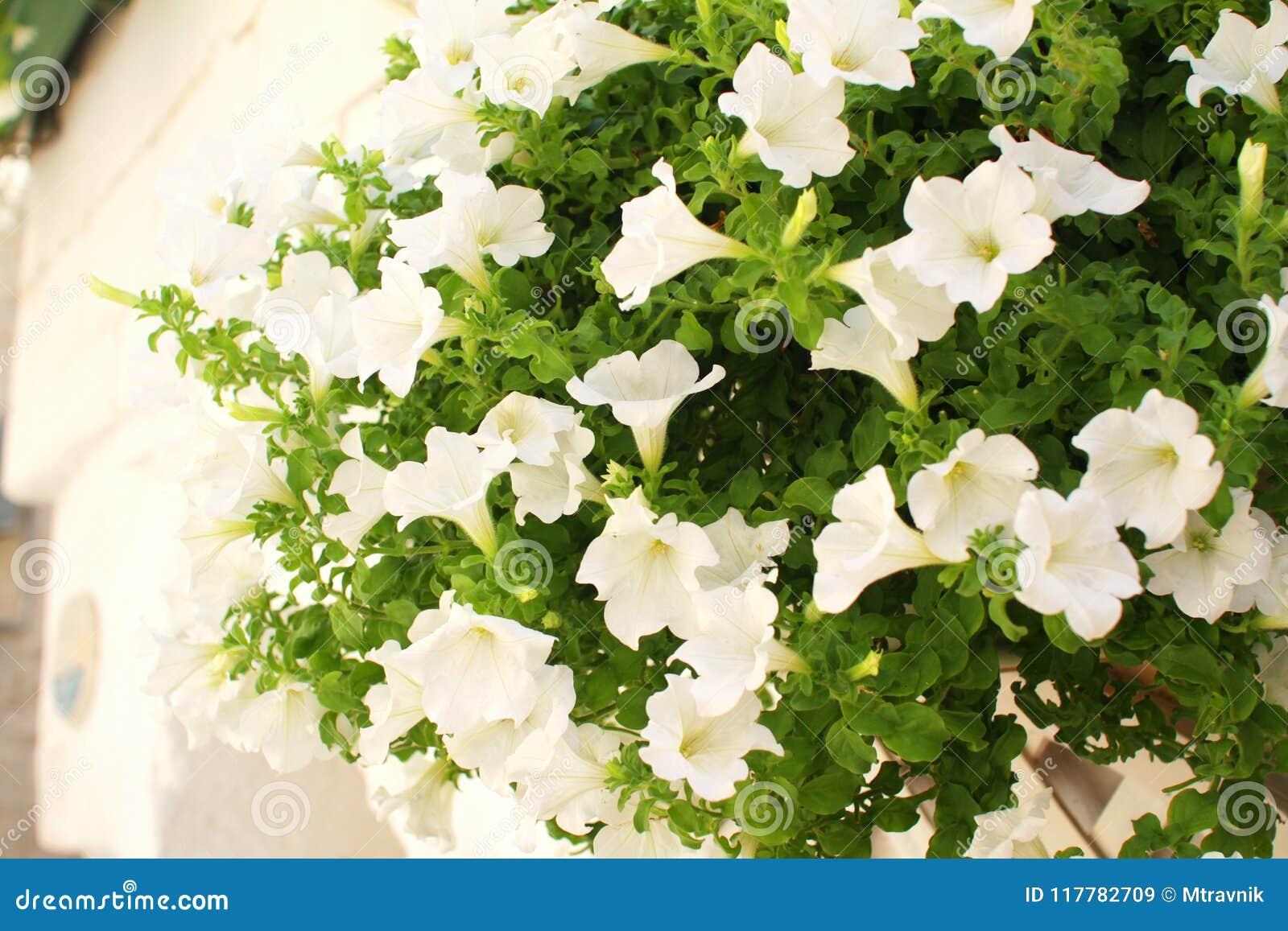 White Petunia Flower Bush In A Pot Outside A White House In Puglia