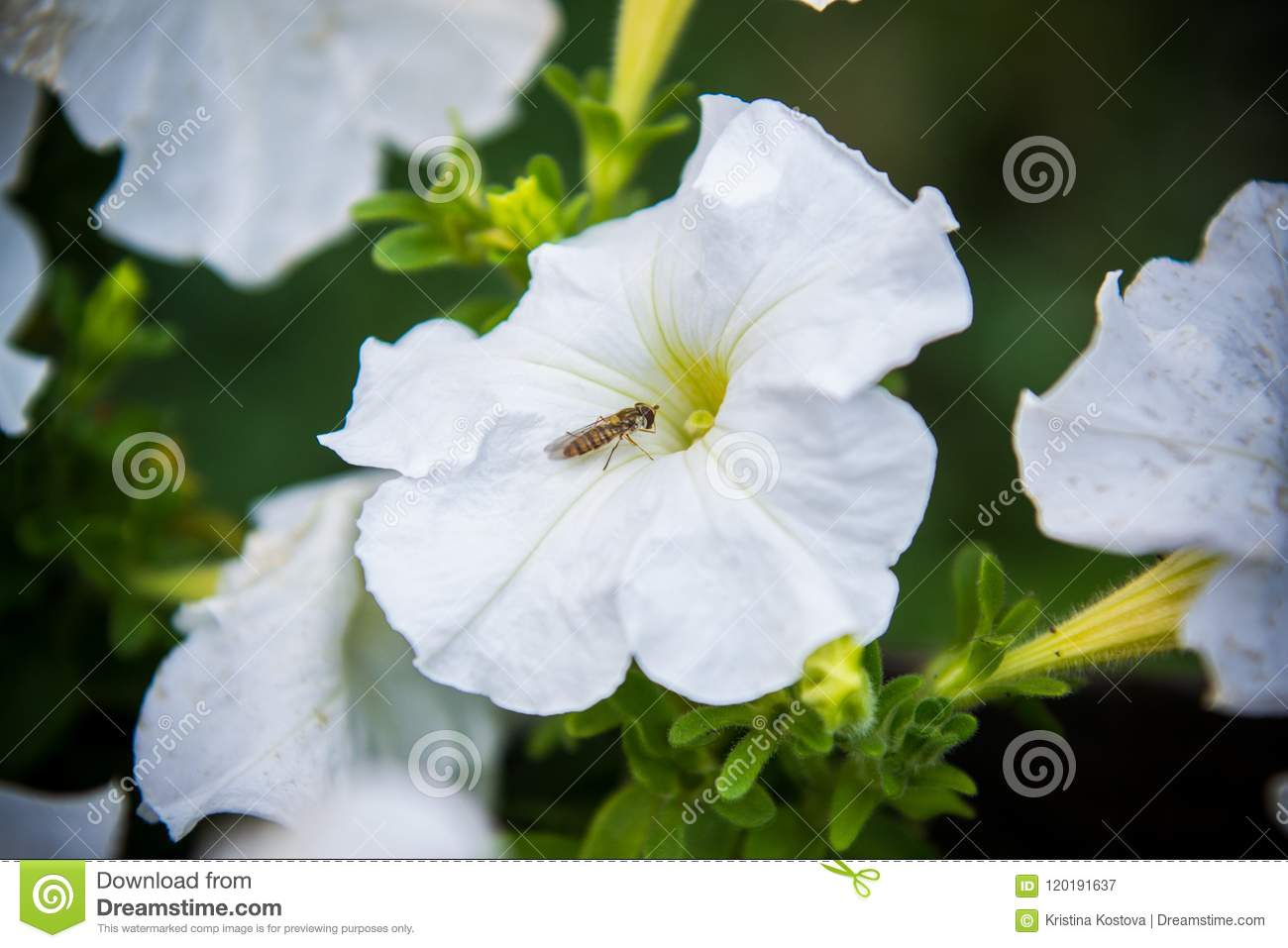 White Petunia Flower With A Small Fly Stock Image Image Of Floral