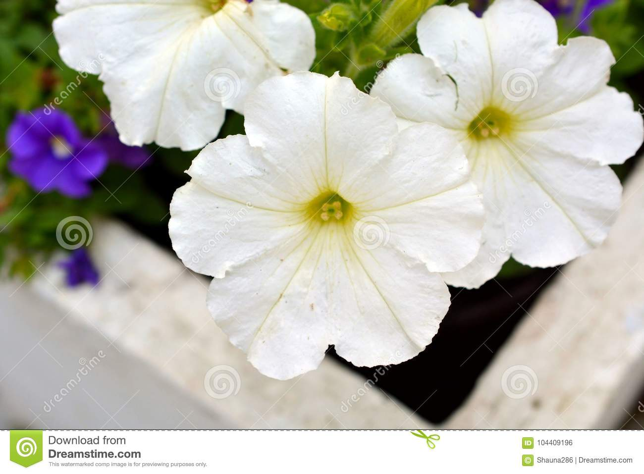 White Petunia Flowers In Bloom Stock Photo Image Of Nature