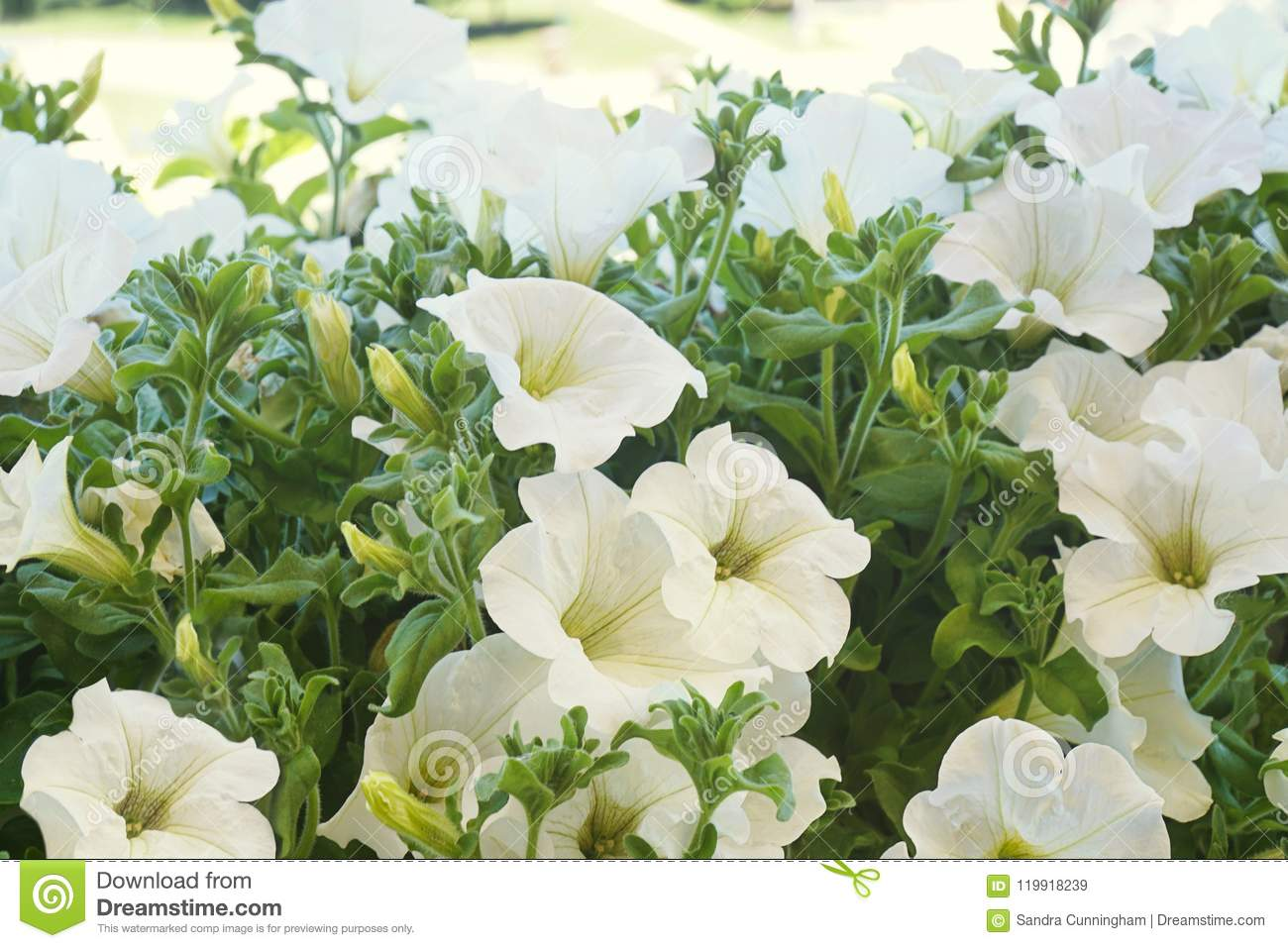 White Petunia Flowers In The Sun Stock Image Image Of Flora Sunny