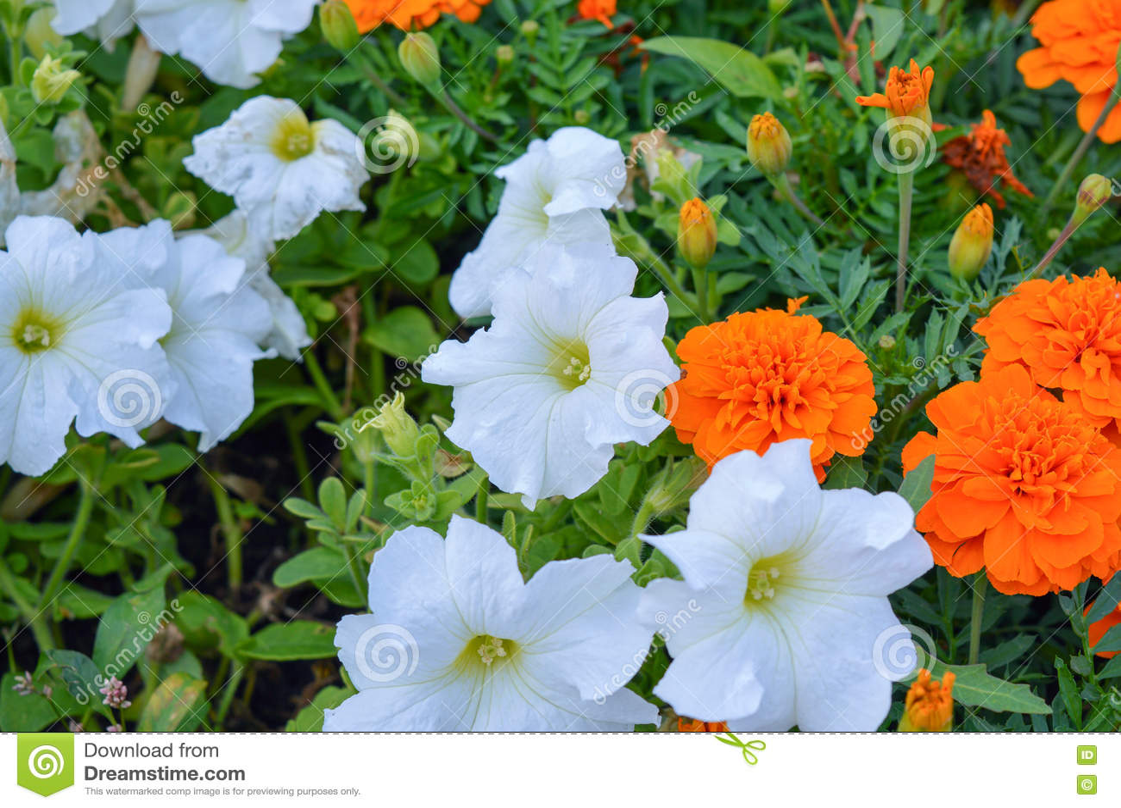 White petunia and orange marigold stock photo image of bright royalty free stock photo izmirmasajfo Choice Image