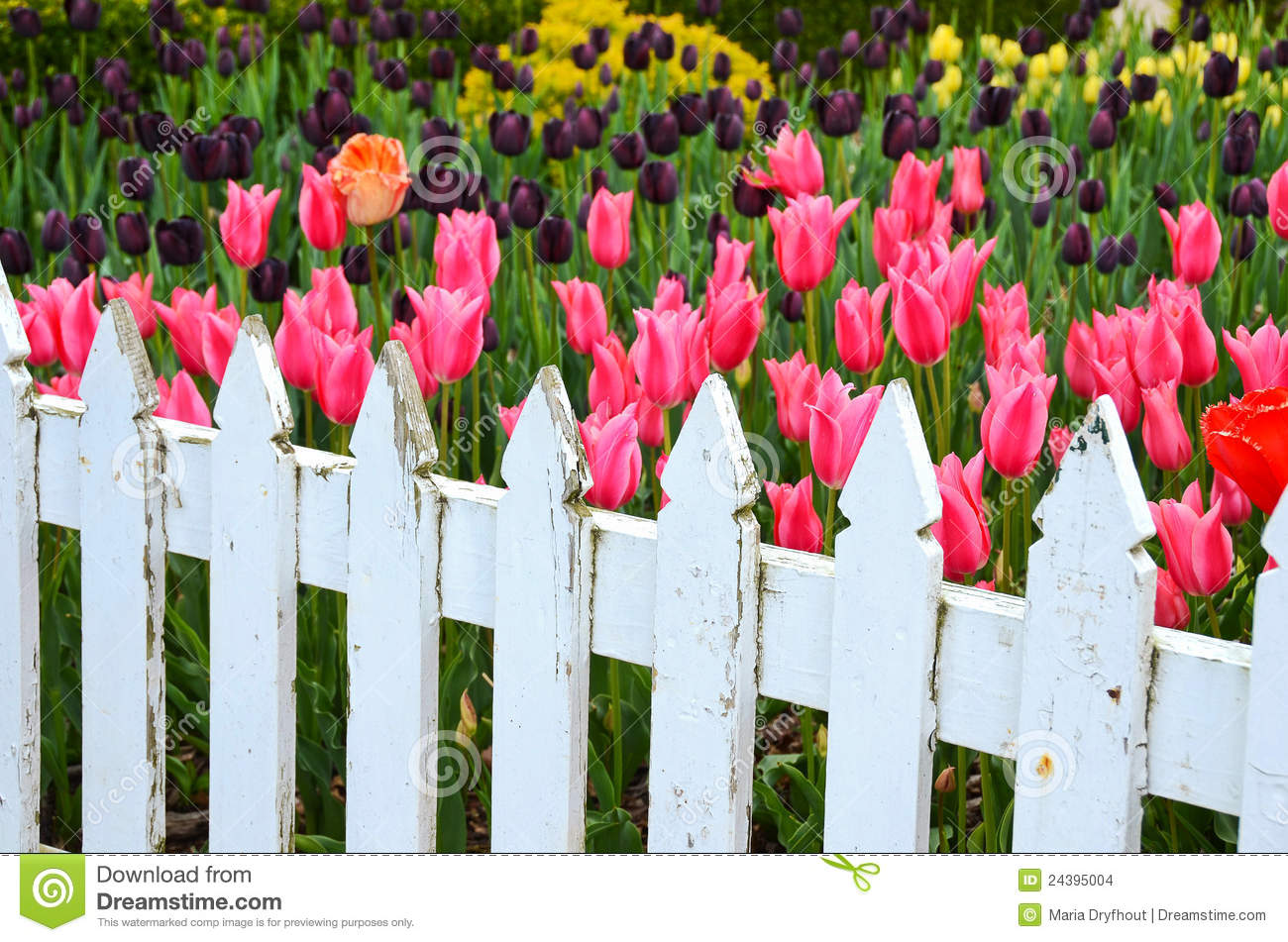 White Picket Fence With Tulips Stock Images - Image: 24395004