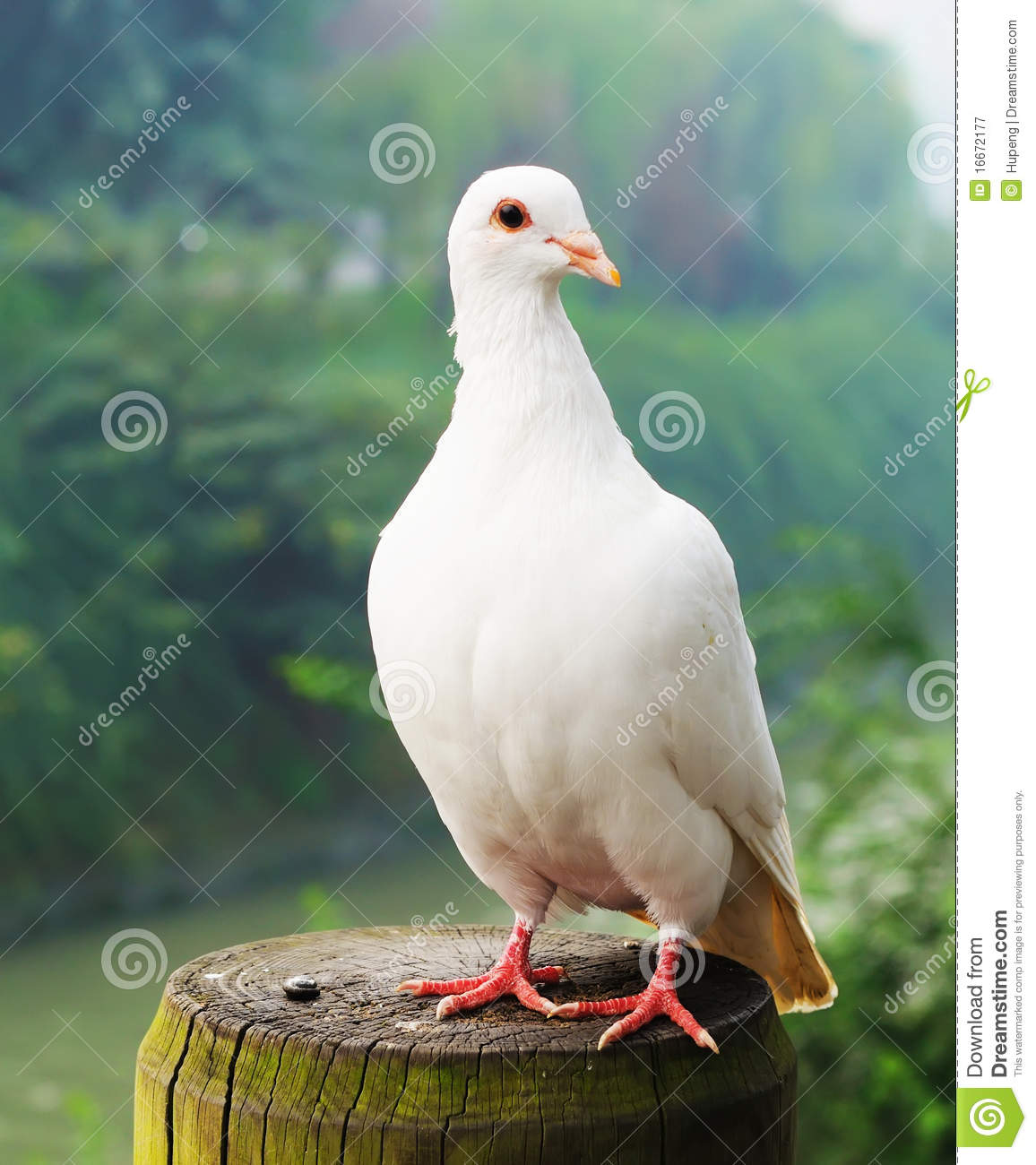 White Pigeon Royalty Free Stock Photography - Image: 16672177