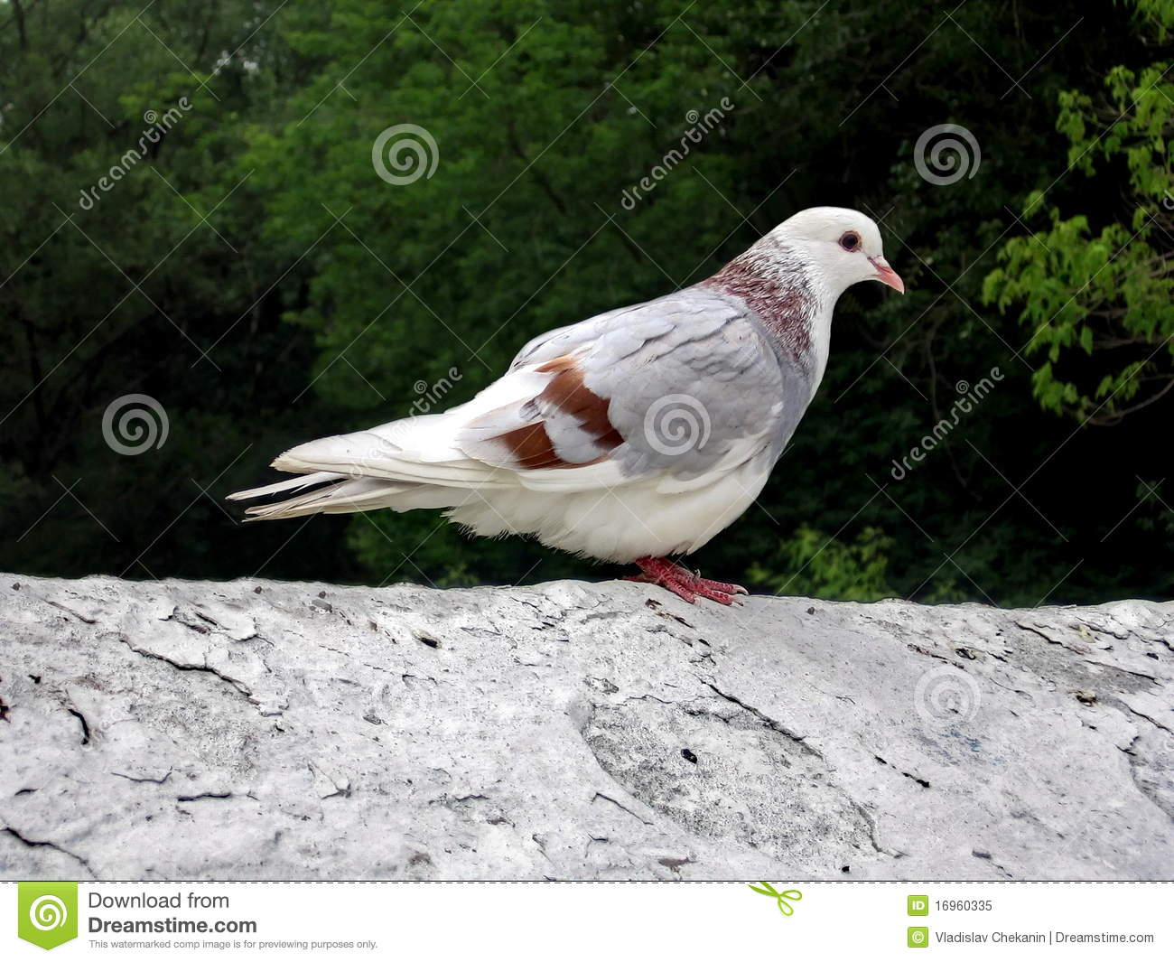 white pigeon singles Browse through available exotic pigeons for sale by  birds/data/photos/530944t/1515103837/brown-white--pigeon-for-salejpg bird  pairs some are singles.