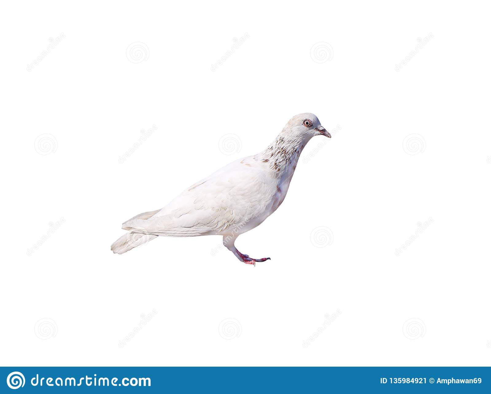 White pigeon with brown striped isolated on white background with clipping path