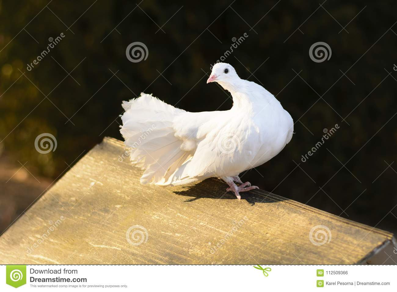 A White Pigeon Sitting On A Wooden Feeder At Sunset Stock Photo