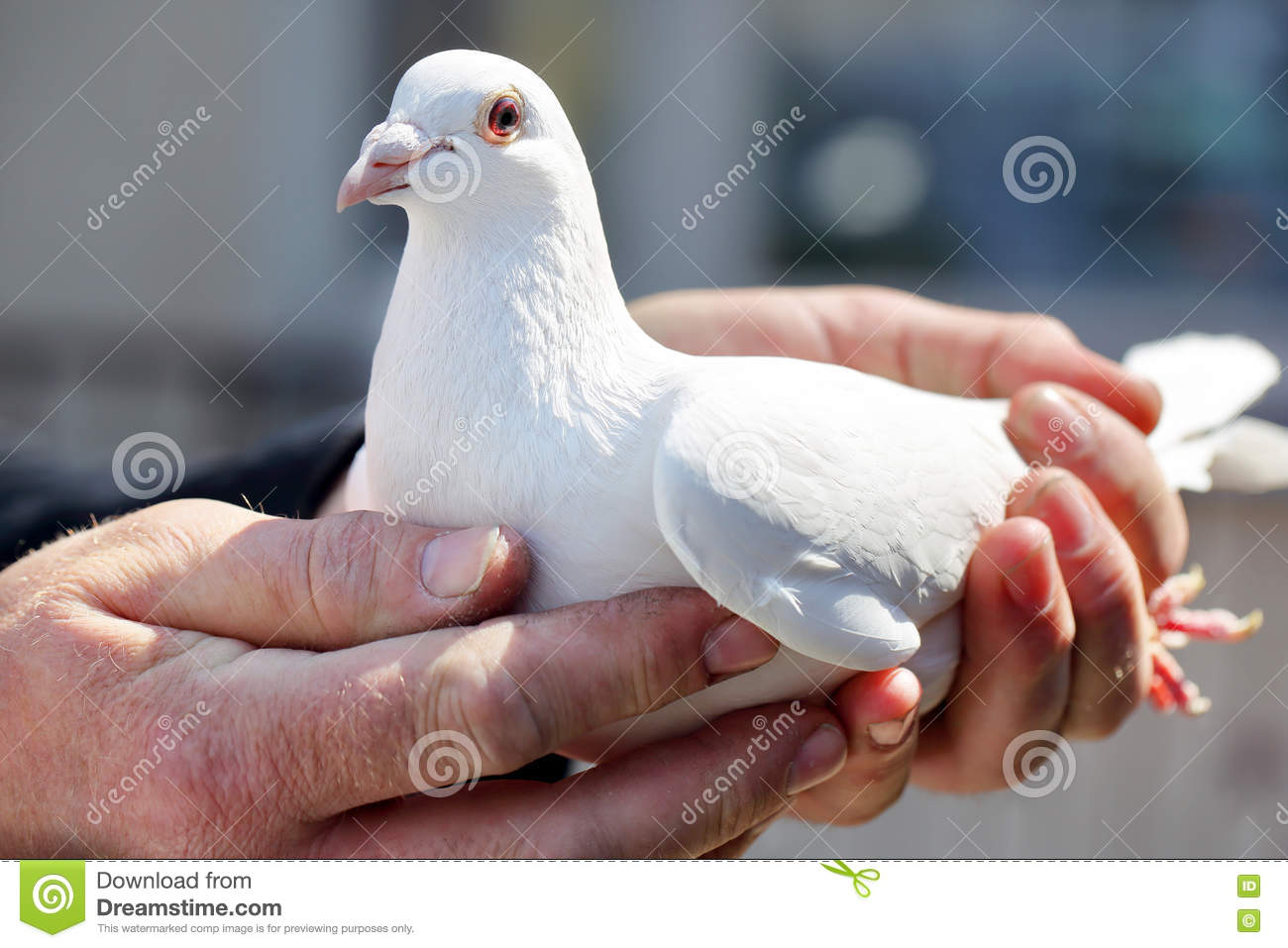 White pigeons in the hands of breeders
