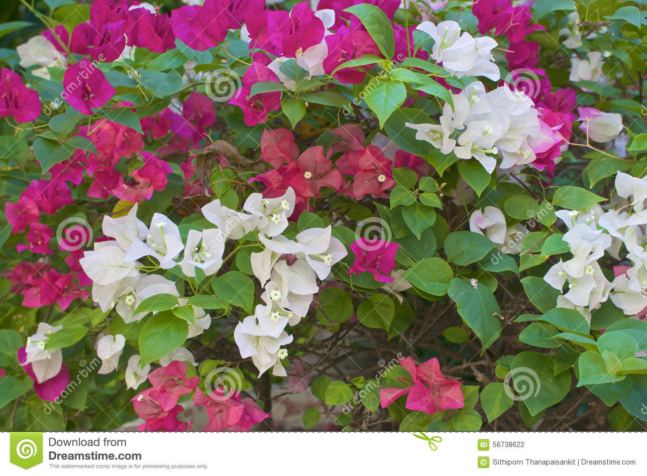 White And Pink Bougainvillea Or Paper Flower In Garden Stock Photo