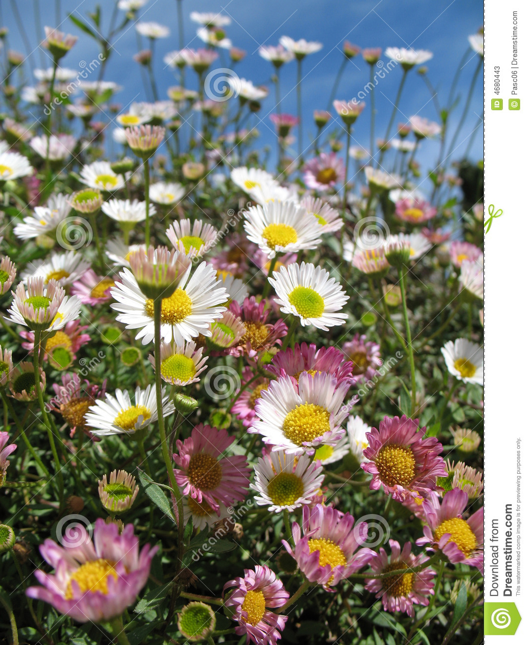 white and pink daisy flowers field looking the sky stock photos, Beautiful flower