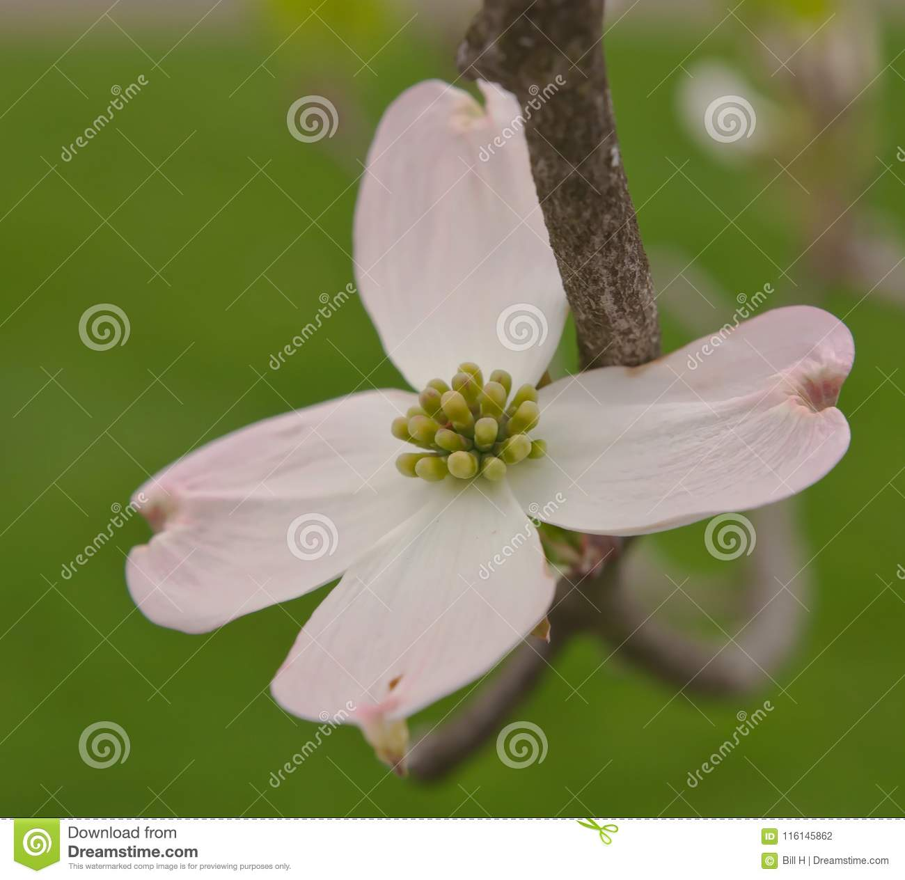 A White And Pink Dogwood Flower With A Green Background Stock Photo