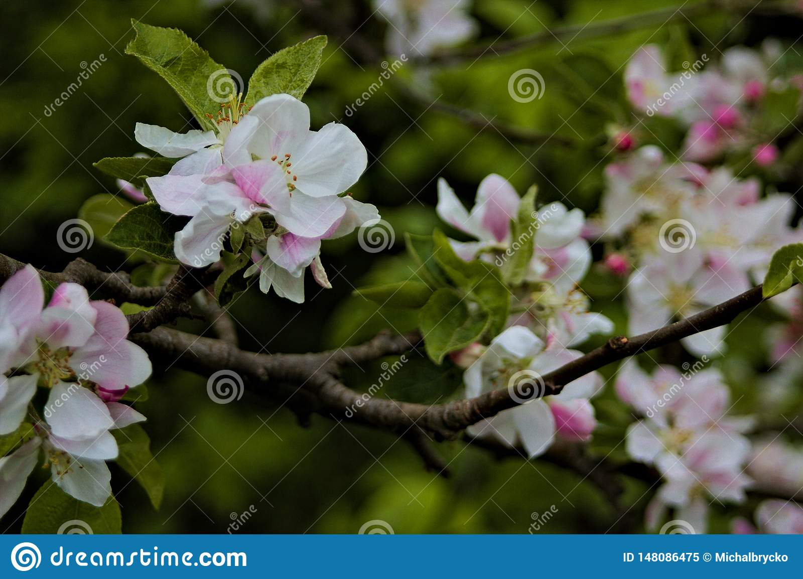 White-pink flowers on brown branch with green leafs