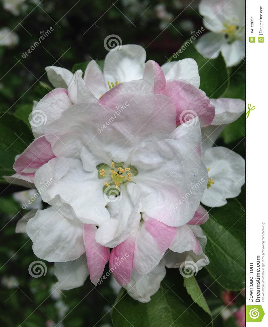 White Pink Flowers On The Bushes Stock Image Image Of Colorful