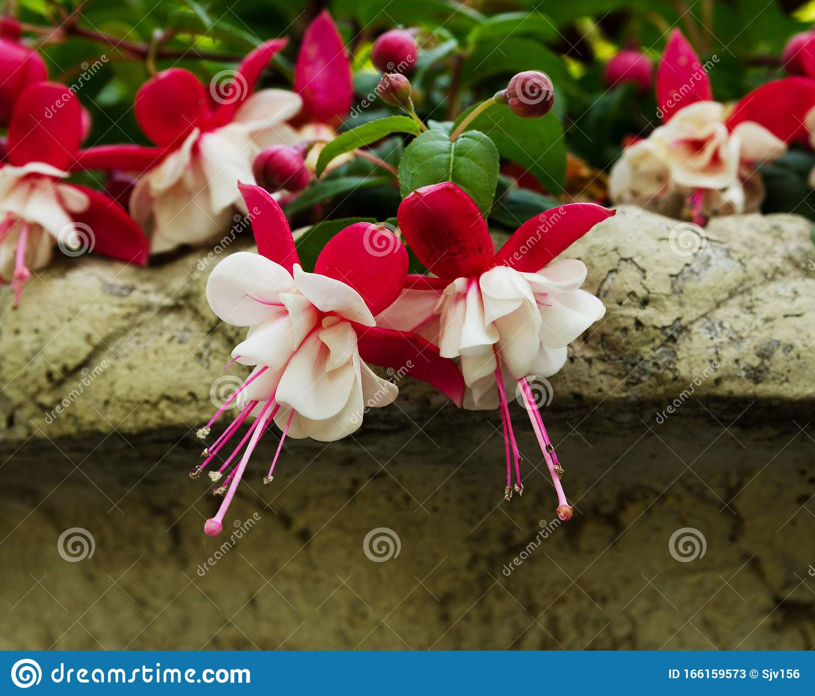 White And Pink Flowers Of Fuchsia Create A Mood And Define A