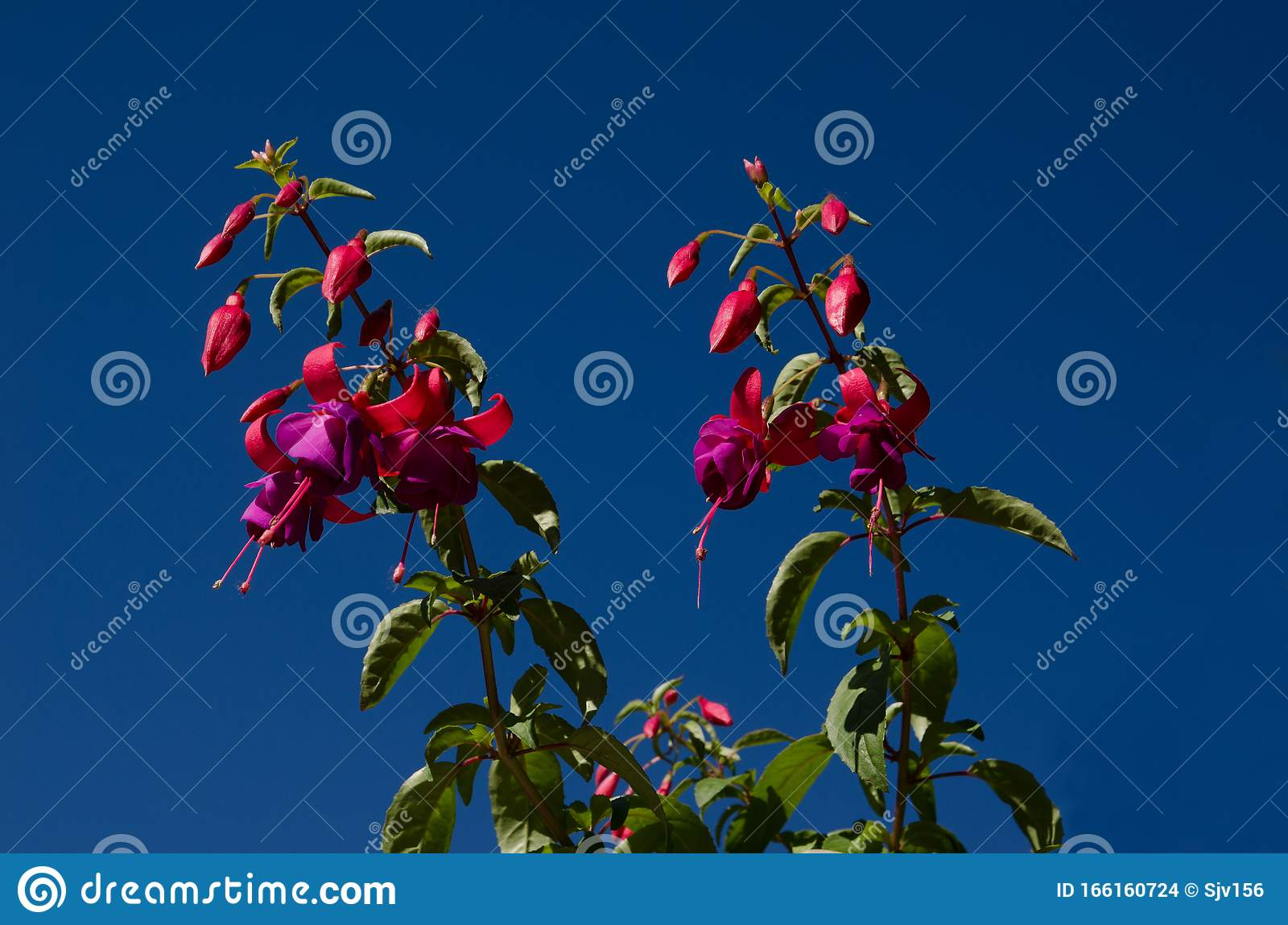 White And Pink Flowers Of Fuchsia Fuchsia On A Background Of Blue