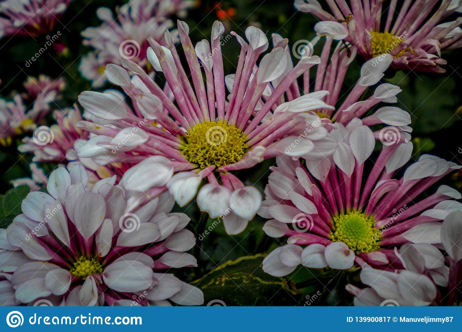 White and pink flowers in the garden in kodaikanal
