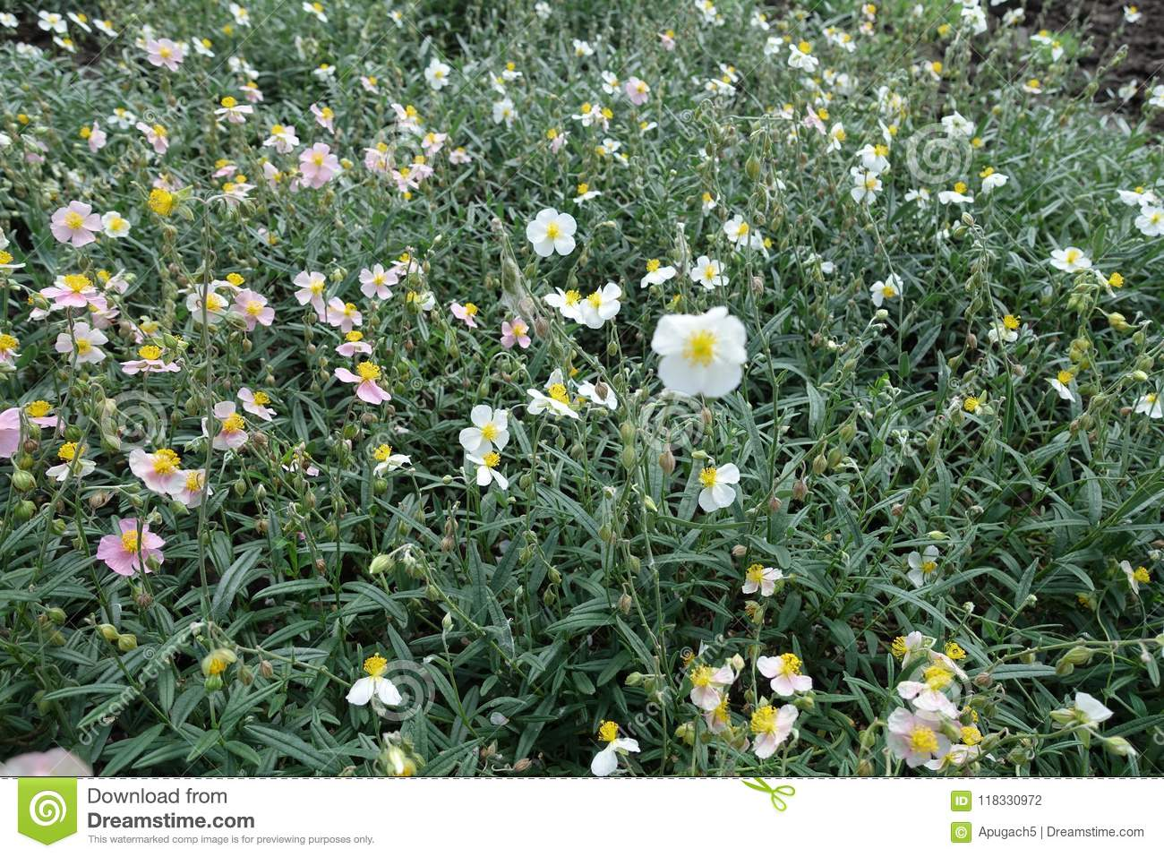 White and pink flowers of Helianthemum