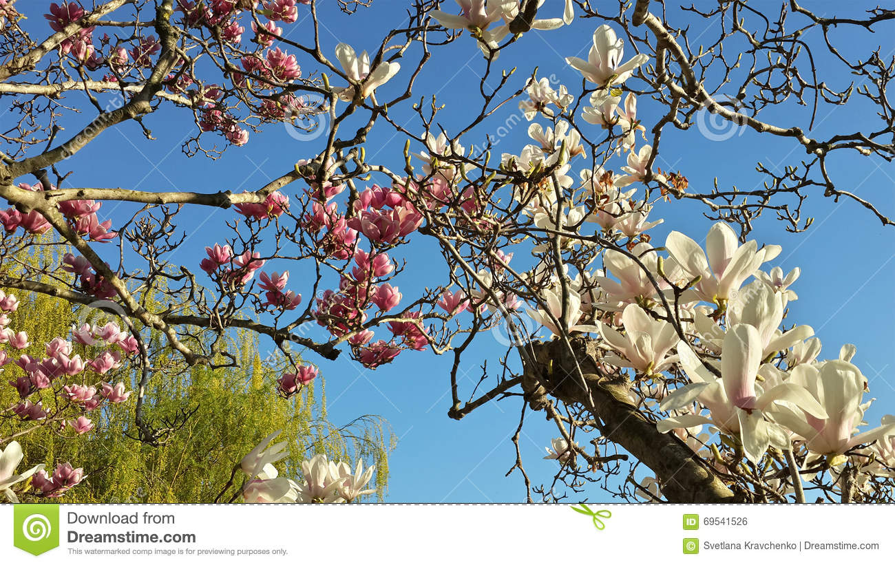 White And Pink Flowers On Magnolia Tree Stock Photo Image Of Tree