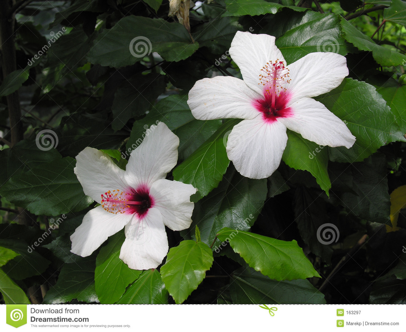 White And Pink Hibiscus Flower Royalty Free Stock ...