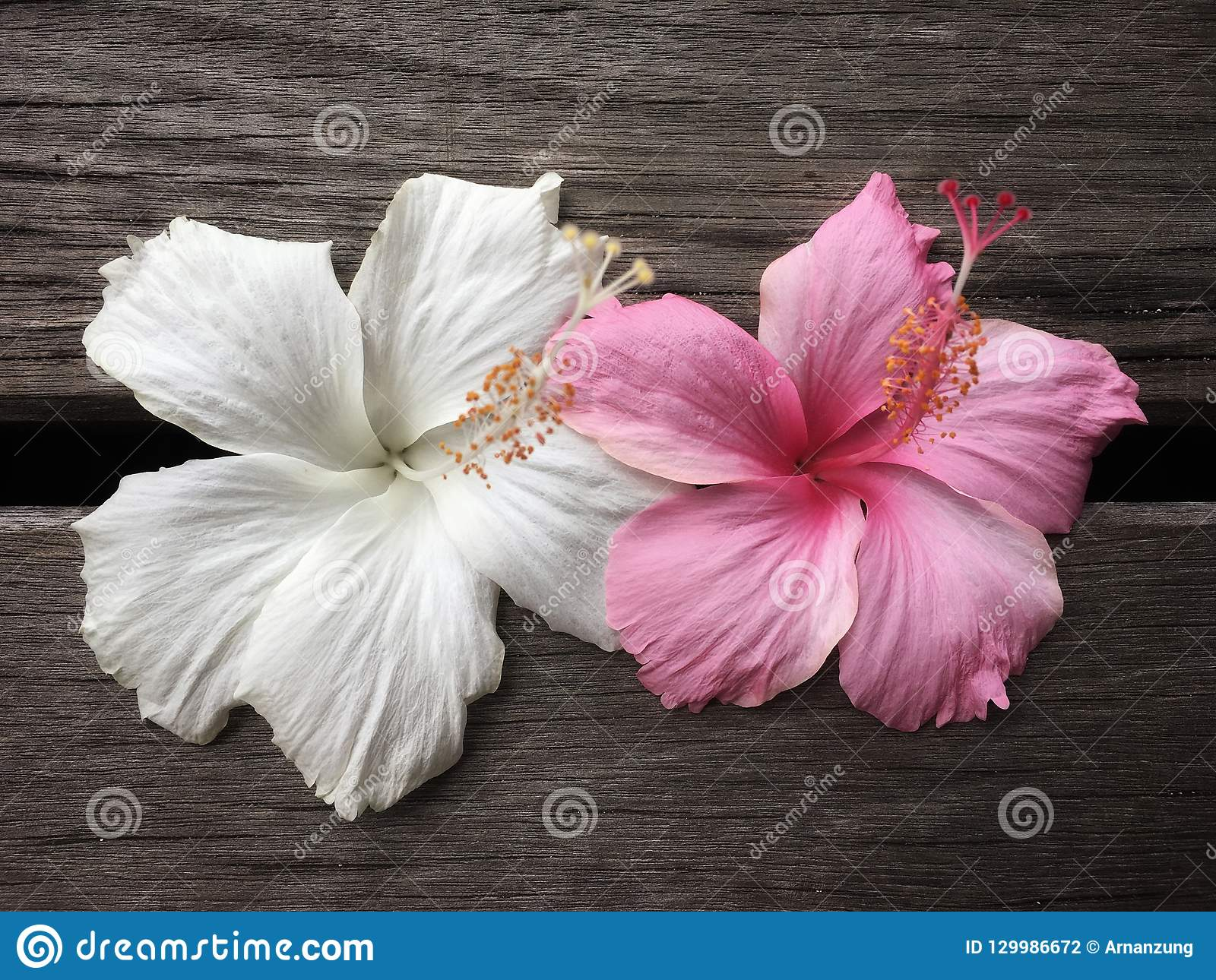 White and pink hibiscus flower