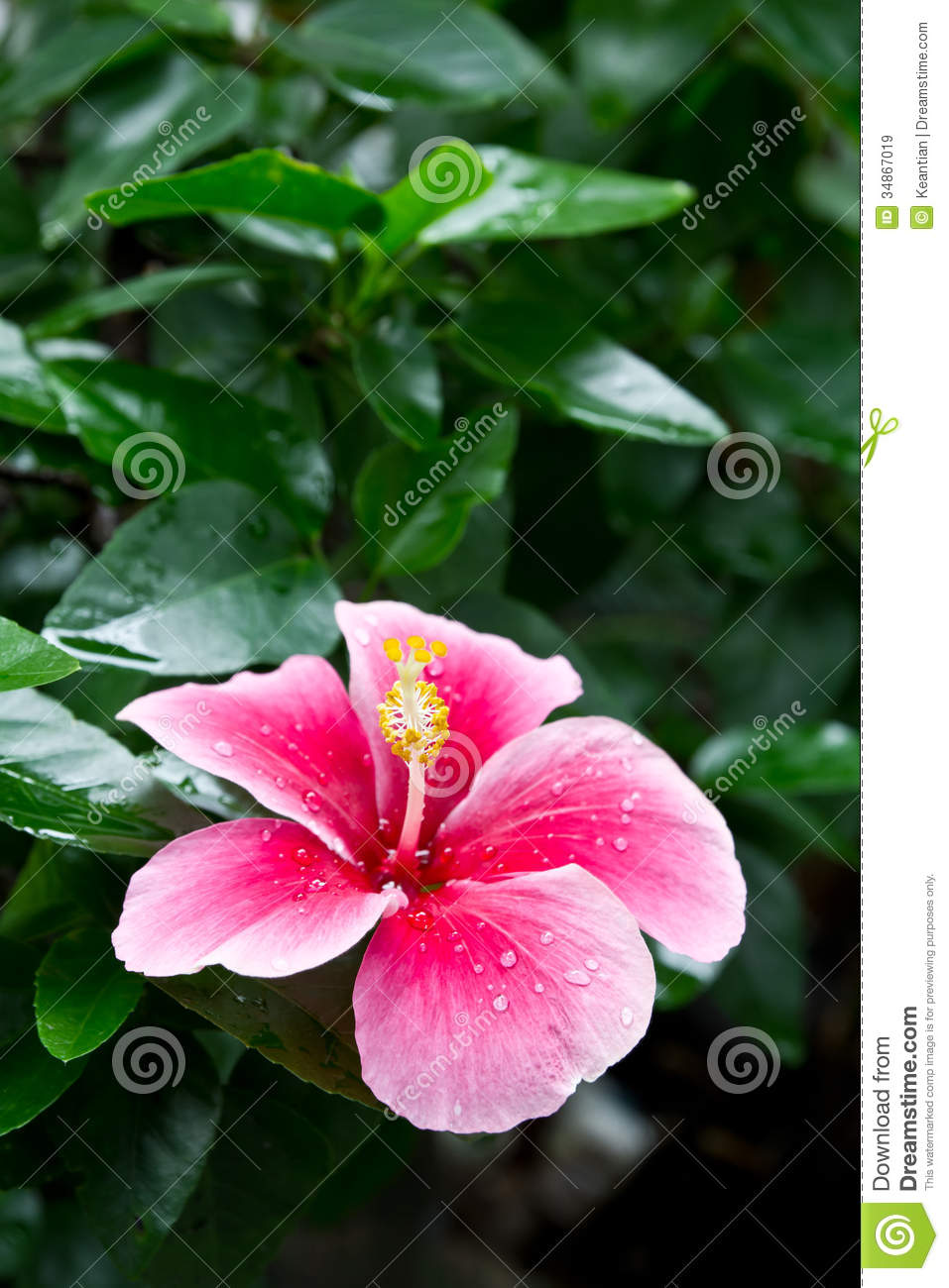 White And Pink Hibiscus Stock Image Image Of Health 34867019