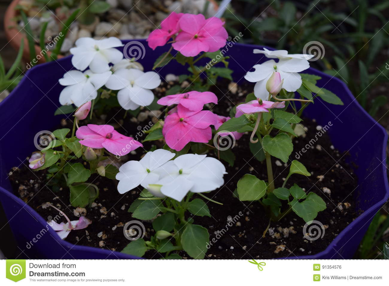 White and pink impatiens