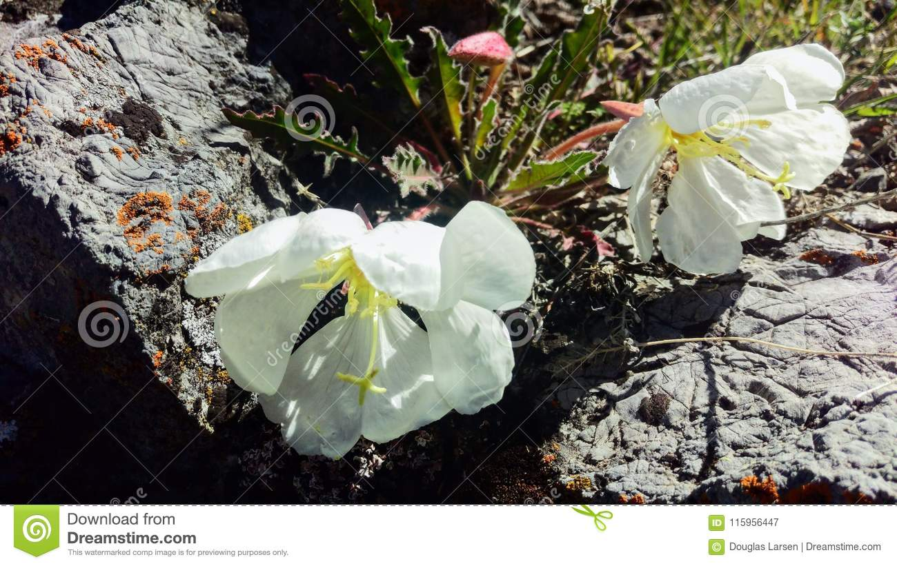 White Pink Ladies Flowers Macro Stock Image Image Of Blooming