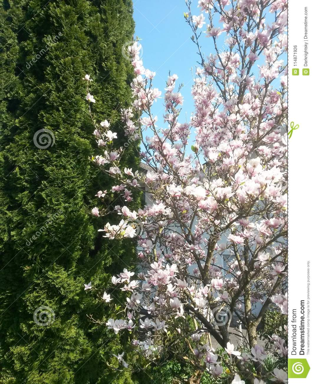 White Pink Lilac Blooming Magnolia Tree And A Garden Stock Photo