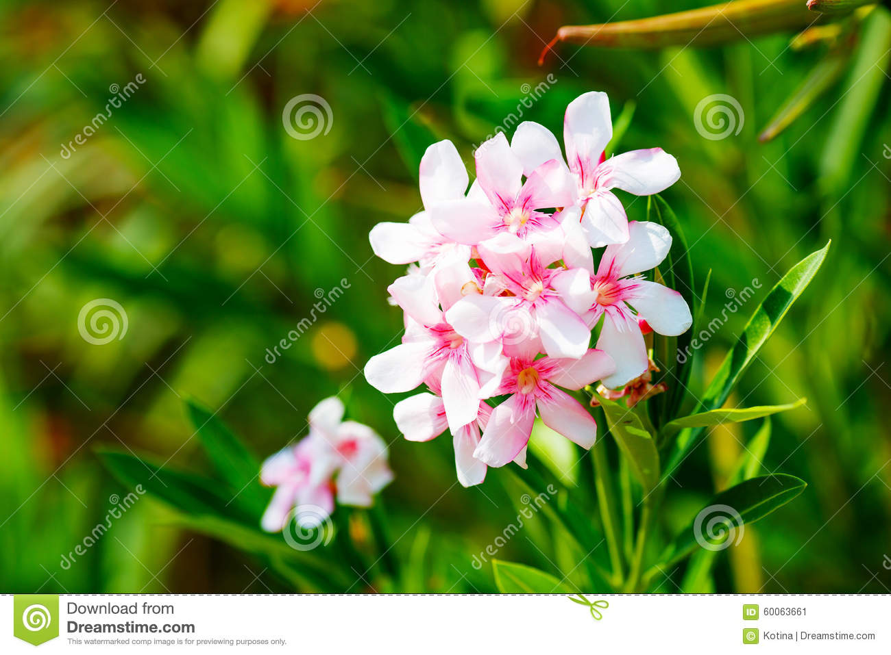 White And Pink Nerium Oleander Flowers Stock Image Image Of