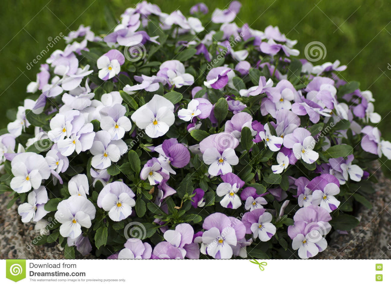 White and pink pansy flowers stock image image of planet sunny download white and pink pansy flowers stock image image of planet sunny mightylinksfo