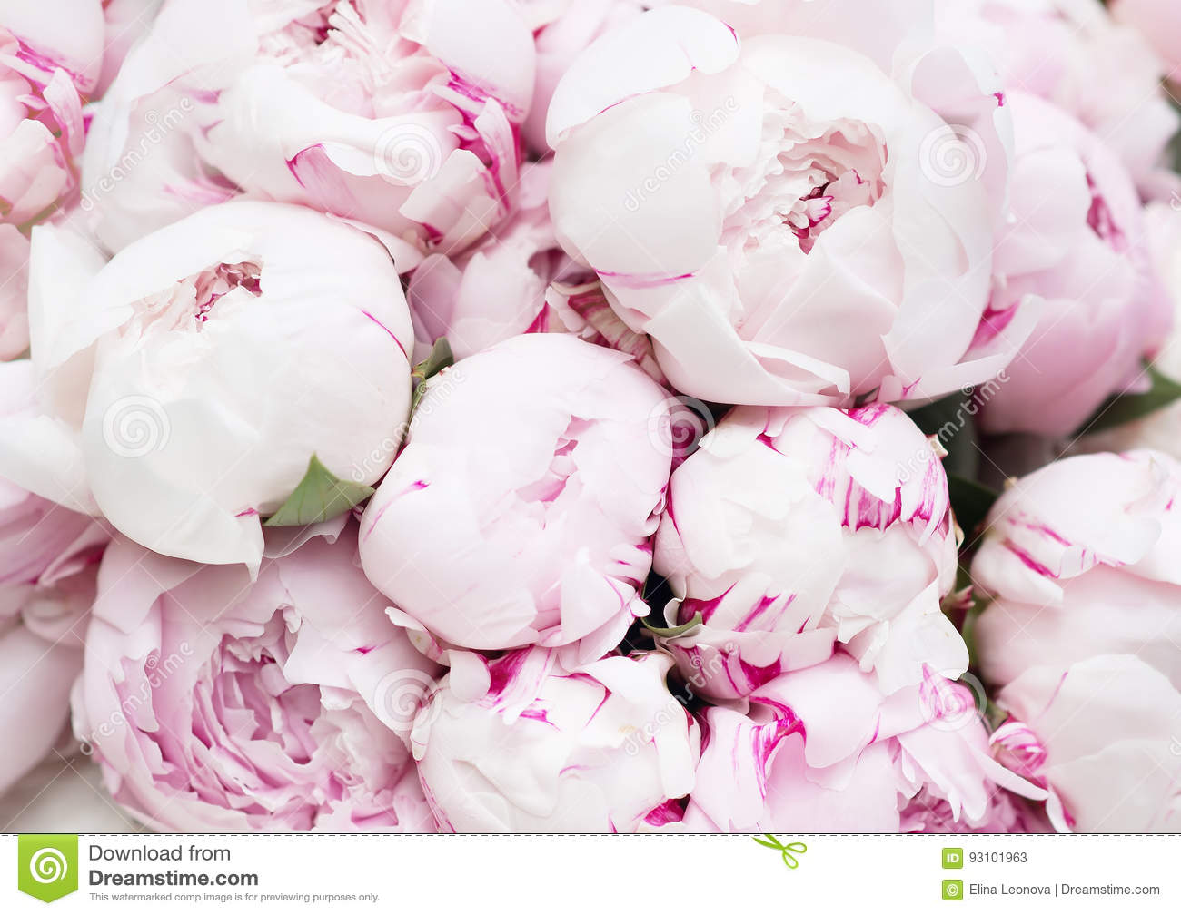 white and pink peonies. background, wallpaper stock image - image of