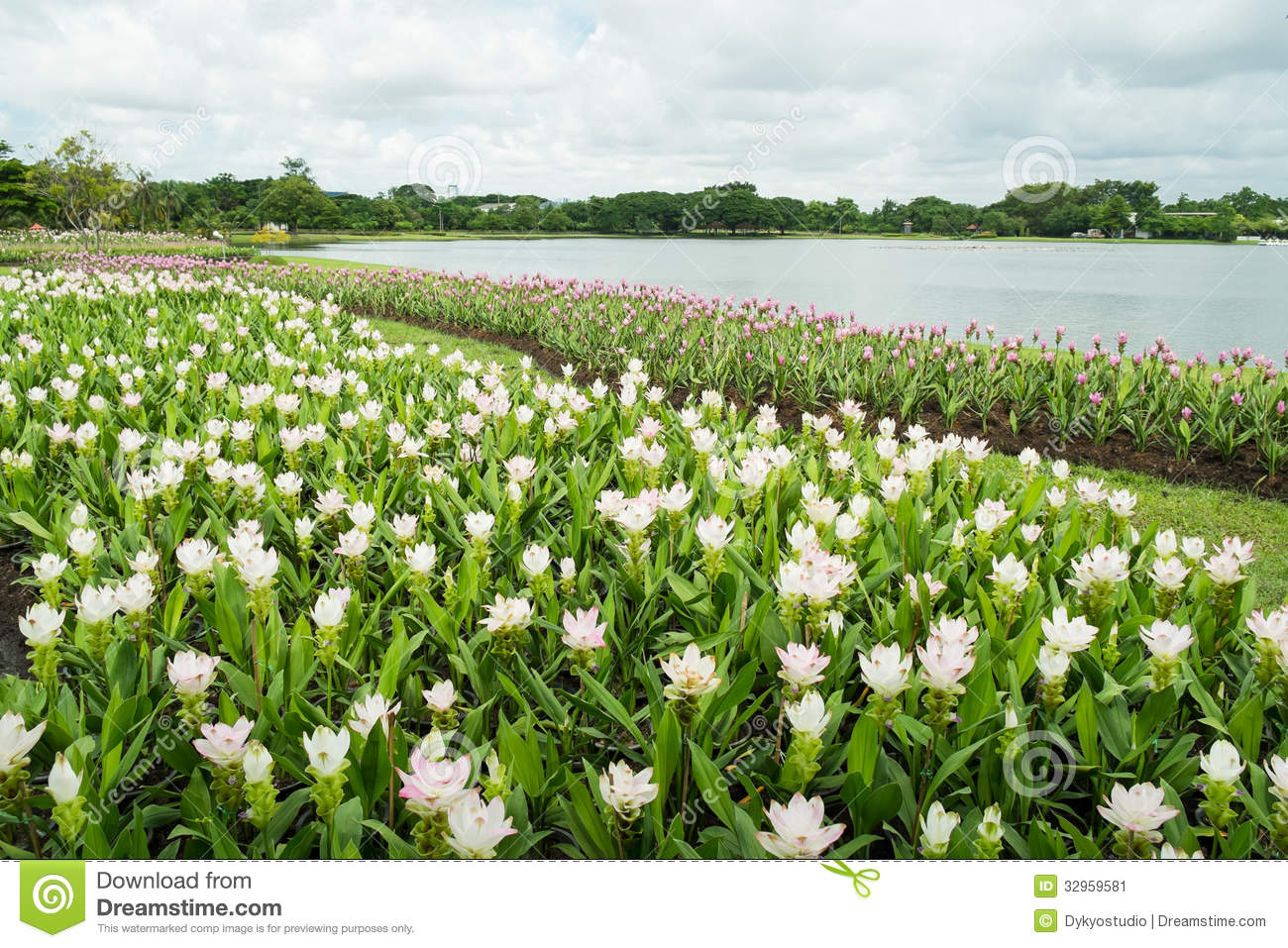 White and pink siam tulip patumma flower garden along the lake white and pink siam tulip patumma flower garden along the lake mightylinksfo