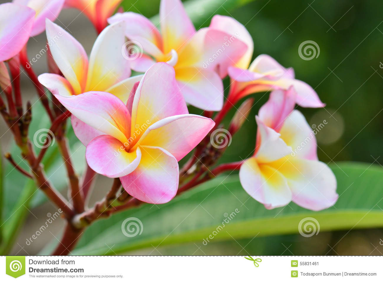 White pink and yellow plumeria flowers stock photo image 55831461 flowers pink plumeria dhlflorist Gallery