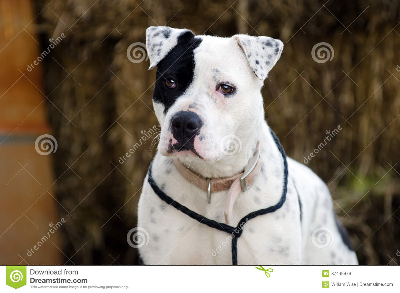 White Dog With Black Eye Patch