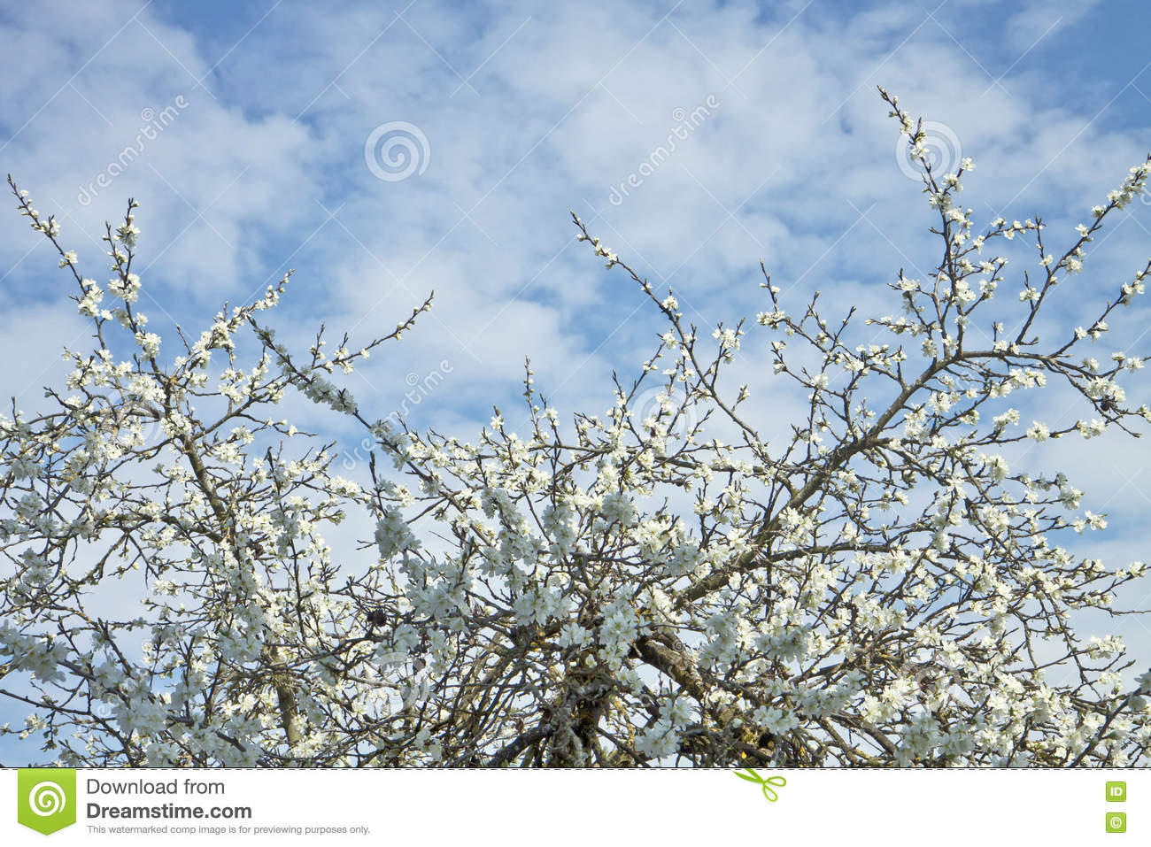 White plum tree flower texture and blue sky stock image image of white plum tree flower texture and blue sky izmirmasajfo