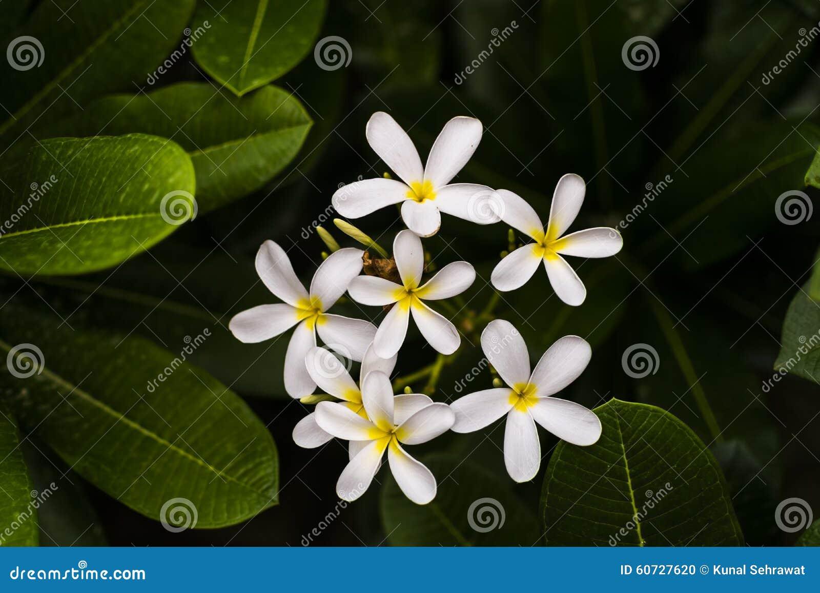 White plumeria alba frangipani or west indian jasmine flower stock white plumeria alba frangipani or west indian jasmine flower izmirmasajfo Gallery