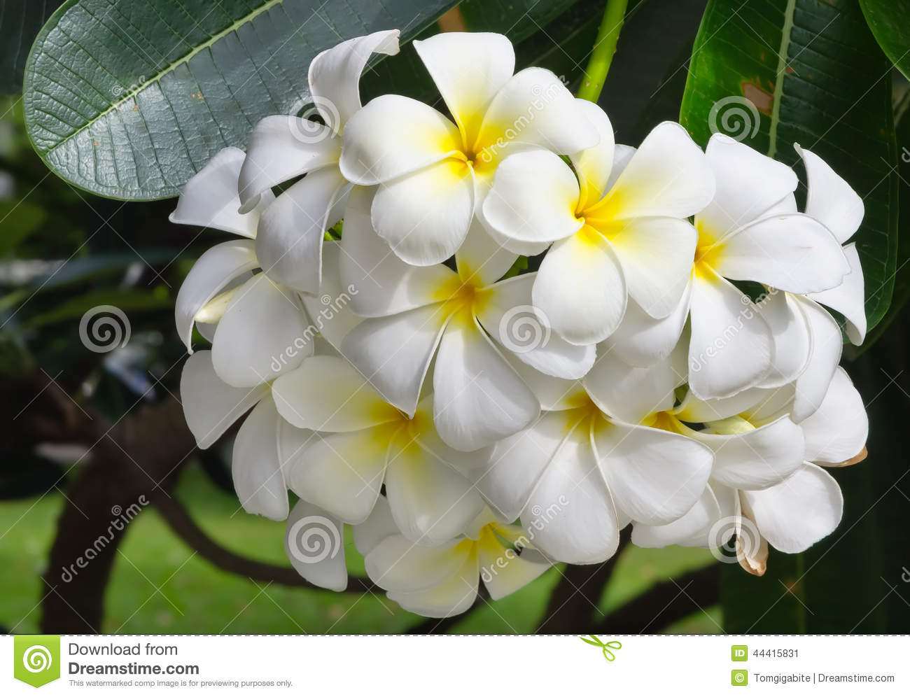 white-plumeria-flower-beautiful-pagoda-tree-temple-tree-44415831 Pagoda Garden Design Plans on japanese pagoda plans, garden pagoda lanterns, garden statuary, pagoda design plans, pagoda house plans, square foot gardening plans, form cement chinese pagoda plans, wood pagoda plans, outdoor fireplace plans, pagoda construction plans, pagoda structure plans,