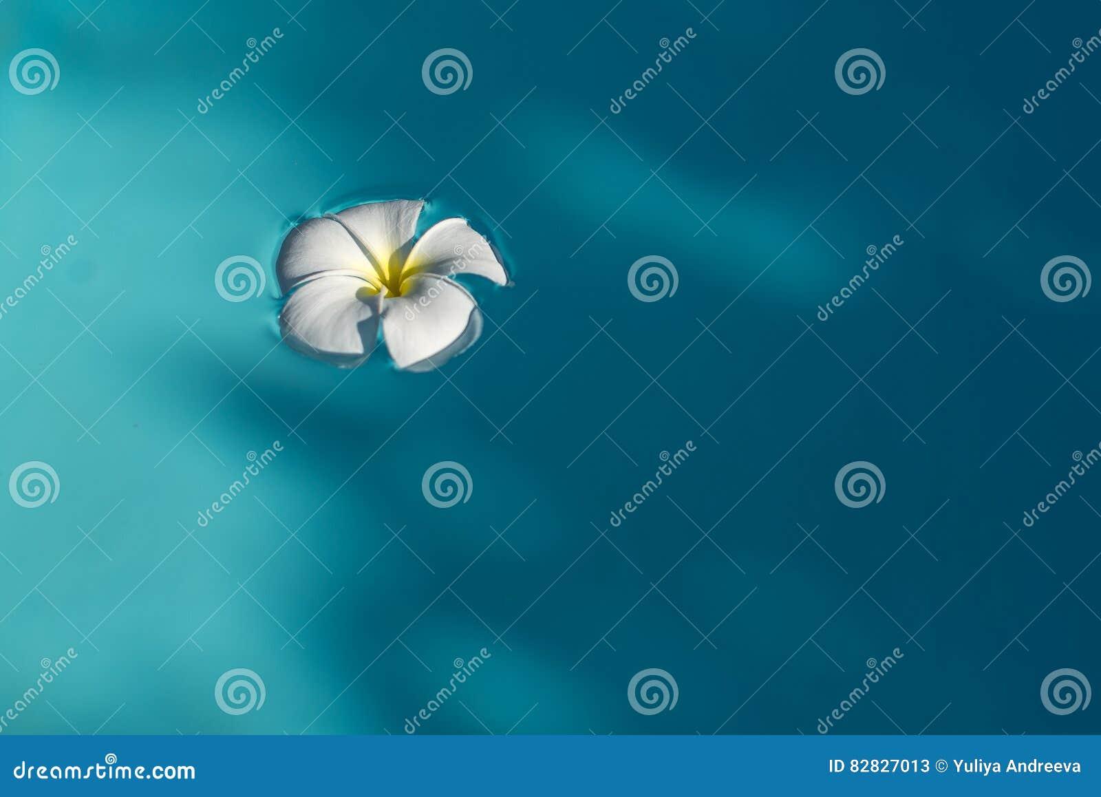 White plumeria flower in blue water stock image image of blossom download white plumeria flower in blue water stock image image of blossom flowers izmirmasajfo