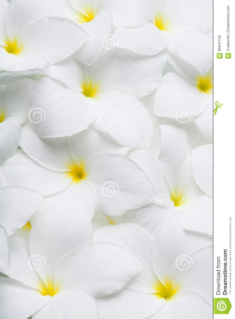 white plumeria tropical hawaiian flowers stock photo