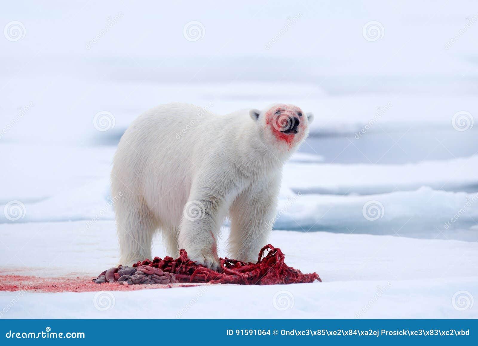 White polar bear on drift ice with snow feeding kill seal, skeleton and blood, Svalbard, Norway. Bloody nature, big animal. Polar